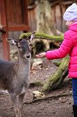 Little Girl Feeding Deer In The Zoo