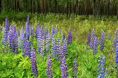 Purple Lupins By Green Forest