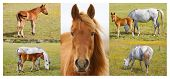Collage of horses with foals on meadow