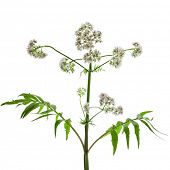 Herb plant valerian flowering plant isolated on white background