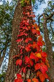 Beautiful Red Leaves of a Vine Growing on the Side of a Tree in Texas
