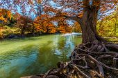 pic of guadalupe  - Intricate Intertwined Gnarly Cypress Tree Roots with Beautiful Fall Foliage on the Banks of the Guadalupe River at Guadalupe State Park - JPG