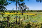 foto of texas star  - A Texas Field of Wildflowers with Wire Fence and Old Oak Tree - JPG