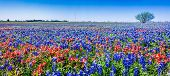 A Beautiful Wide Angle Hi Res Panoramic View of Bright Orange Paintbrush and Bluebonnet Wildflowers
