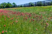 Wooden Fence with Indian Paintbrush Wildflowers.
