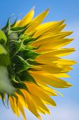 picture of night-blooming  - yellow sunflower lit by flash in night - JPG