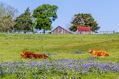 picture of texas star  - A Wide Angle View of a Beautiful Field Blanketed with the Famous Texas Bluebonnet  - JPG