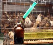 Antibiotic Syringe Near Small Quail Cage In Partridge Farm
