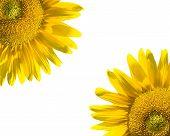 sunflower quadrants