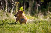 Miniature Dachshund In The Grass