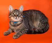 stock photo of yellow tabby  - Tabby kitten with yellow eyes in blue collar lying on orange background - JPG