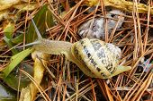 pic of garden snail  - Snail in a garden with dry grass - JPG