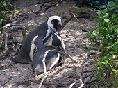 African Penguins in love