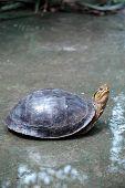 picture of terrapin turtle  - Turtle - JPG