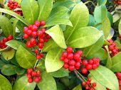Red rowan berries - bush.