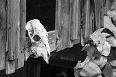 Cow skull in Utah Ghost Town