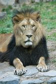 Barbary lion (Panthera leo leo).