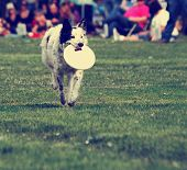 a cute dog in the grass at a park during summer playing with a flying disc toy