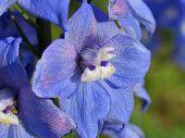 Splendid Blue Delphinium