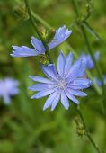 blue flowers of common chicory close up in summer