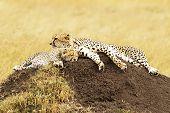 pic of cheetah  - A cheetah  - JPG