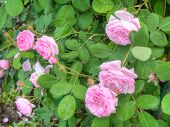 foto of climbing roses  - Bright pink roses with fresh green leaves in the garden - JPG