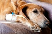 stock photo of catheter  - dog lying on bed with cannula in vein taking infusion - JPG