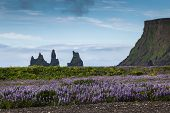 Bright Flowers Lupines On Background Of The Mountains, Iceland