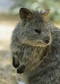 stock photo of quokka  - Quokkas resemble a small wallaby - JPG