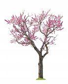 Pink Sacura Tree