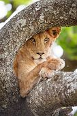 Close up of one lion rests in tree