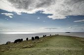 stock photo of sea cow  - Landscape image of cows grazing on edge of cliff overlooking sea - JPG