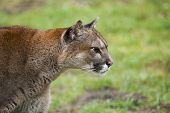 Chilean Cougar In Hunting Position.