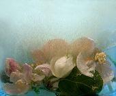 Frozen   Flower Of Apple