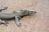 stock photo of monitor lizard  - Large monitor lizard in jungle - JPG