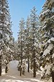 Tahoe Conifers