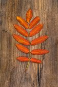 Red-orange Leaf Of Rowan Lying On A Wooden Board