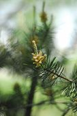 Bud of the pine
