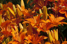 stock photo of asiatic lily  - A spread of Orange Asiatic Lilys flowers  - JPG