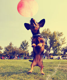 stock photo of spayed  -  a cute dog in the grass at a park during summer playing with a ball toned with a retro vintage instagram filter - JPG