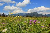 picture of geranium  - idyllic rural landscape near tegernsee spring flowers meadow with buttercup and geranium - JPG