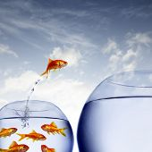 pic of fishbowl  - goldfish jumping out of the water from a crowded bowl  - JPG