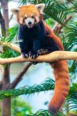 pic of panda  - Portrait of a Red Panda - JPG