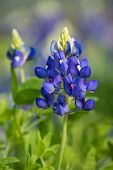 image of bluebonnets  - Texas Bluebonnet  - JPG