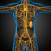 pic of nod  - 3d render medical illustration of the lymphatic system  - JPG