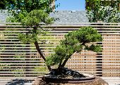 picture of bonsai  - A bonsai tree by wall in a formal garden - JPG