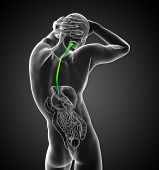 picture of esophagus  - 3d render medical illustration of the esophagus  - JPG
