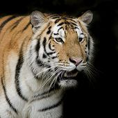 foto of sundarbans  - Closeup Tiger portraits animal wildlife on black color background - JPG
