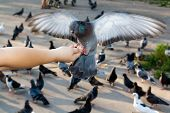 picture of spread wings  - Gray dove with spread wings on hand - JPG