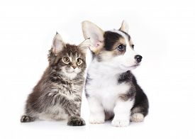 image of coon dog  -  dog and cat - JPG
